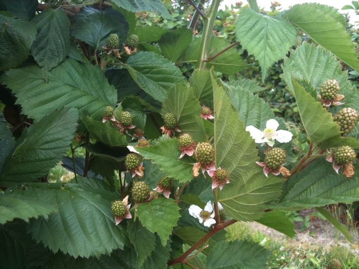 Berries 4